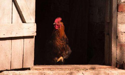The Chicken Door